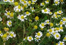 Herbs camomile etc / growing and recipes