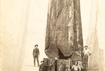 huge trees vs small humans
