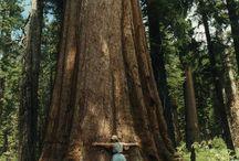 Sequoias Love