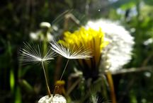 Naturally Dandi / A slight obsession with all things dandilion
