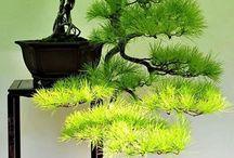 Бонсай( Ikebana, Kokedama & Bonsai)