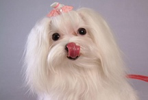 I ♥ Maltese Dogs / My Favorite Breed ~ I have three ~ Izzy, Bizzy & Patch / by Jeanne Thomas