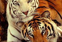 tiger$.