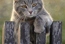 harmaa kissa