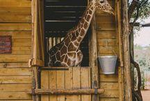 żyrafy :)))