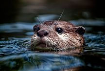 animals - otters & pups