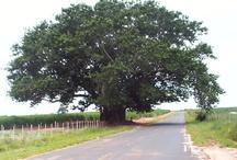 """ÁRVORES   / """"A Árvore não nega sua sombra nem ao lenhador"""""""