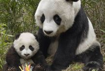 Pandas / Always brings a smile to ones face.....