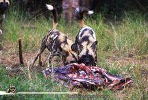 Shayamanzi Predators / The Mystery of Nature lies in the Eyes of the Predator!