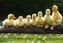 Pato... Pato... Pato!