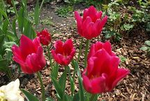 Tulips / Beloved Flowers of the Spring