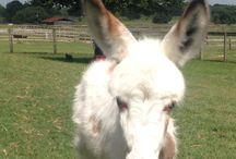JoJo the mini orphan donkey!