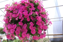 Hanging baskets / Everybody loves the look of a beautiful hanging basket. Viola Nursery & Greenhouse has built their business on the quality and uniqueness of our hanging baskets. We specialize in custom made baskets that people use for weddings and many other special events. / by Viola Nursery and Greenhouse