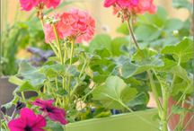 Growing Geraniums