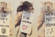 szczurki