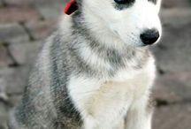 Sibirien husky