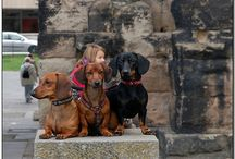 My four Dachshunds / Pictures from my beloved pack
