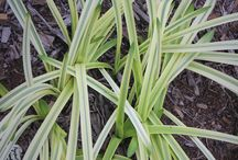 2015 PDN Variegated Plants / Leaves that Light Up the Garden - Variegated Plants – Yuck...as one visitor described a variegated plant. When I asked why, he likened using variegated plants to trying to match plaids with stripes...hmmm. Variegated plants suffer from the outdated belief that all plants are supposed to be green. Plants which aren't green, are somehow seen as sick or unworthy of cultivation. Variegated plants are most appreciated by serious plant collectors, probably because of their uniqueness.