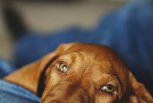 Vizsla Love / by Roberta Routt