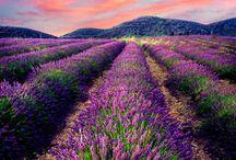 lavender love affair