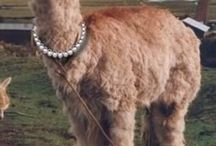 Funny pictures / Lama