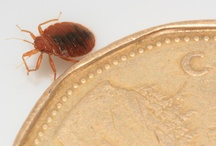 Bed Bugs / Bed Bug Images