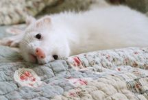 Ferret love / Pet ideas. Nesting for a new pet / by Kirsty Perrett