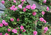 Climbing Rose Passion / http://dabbiesgardenideas.com/category/growing-roses/