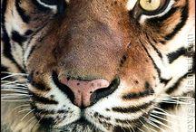 tygr sumatersky