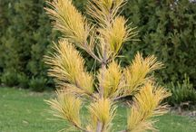 """Pinus resinosa-Képtalálat a következőre: """"pinus resinosa"""" Enyves fenyő"""