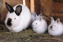 Raising rabbits for meat / Caring for and propagating rabbits as meat animals / by Emergency Essentials
