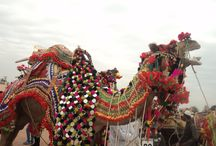 camel festival bikaner 2017 / Find information about Bikaner Camel Festival 2017, why and how it is celebrated in Rajasthan. The main attractions and dates of Bikaner Camel Festival