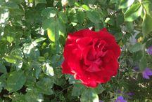 Roser ute og inne / Sommer med roser fra hagen.