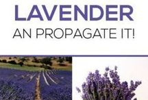 Growing plants and lavender