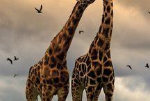 Giraffes !