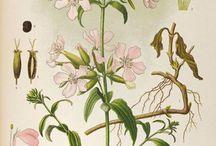 herbs / zioła / byliny