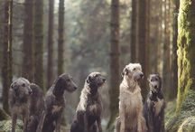 Irish wolfhounds <3