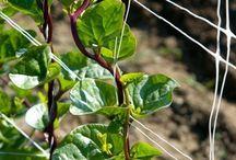 2018 Leafy Greens / Leafy Greens are healthy.