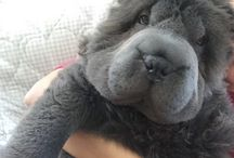 Fluffy Shar-Pei / The Fluffy-Coat Shar-Pei Is A Thing, And It's The Most Adorable Bear-Pup Ever