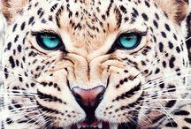 Leopards eye / Drawing