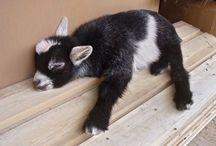 just goats