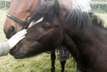 A / paarden