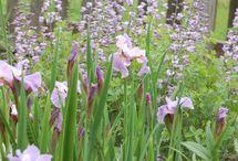 Iris wetland