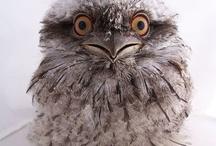 owls e civette