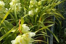 Orchids / Orchids grown at the farm