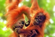 The Ape Family