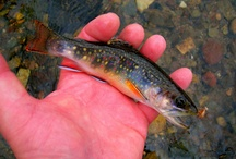 BROOK TROUT / by GOKO - Get Outdoors Knowledge Outfitting