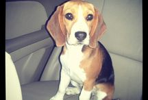 Beagles, my love! / by Audrey Isaac