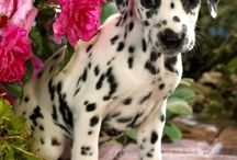 Loveable Dalmations