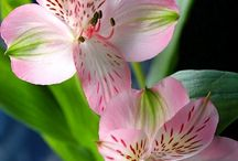 Tulips & Lilys